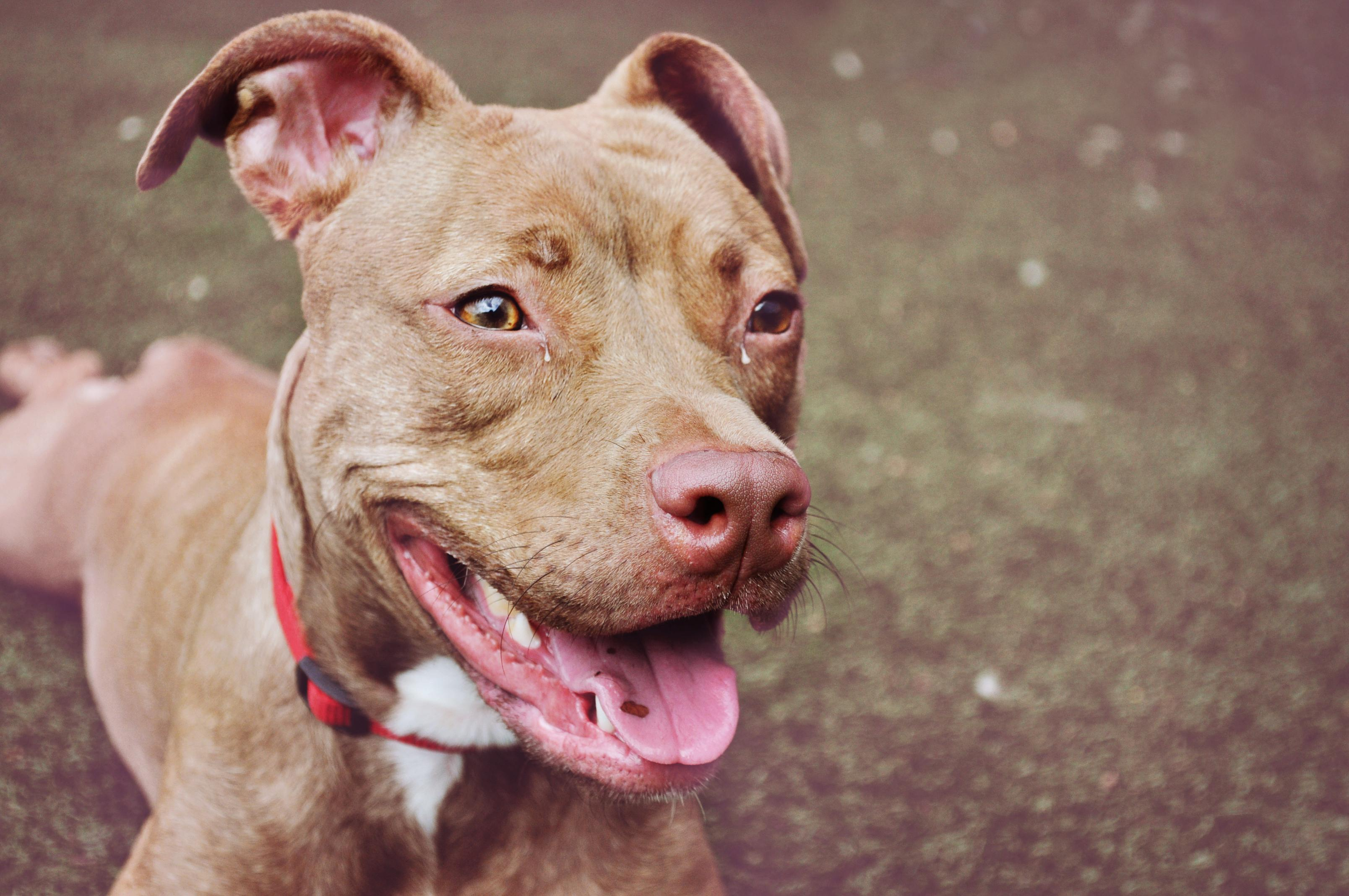 Smiling Red Pit Bull Terrier
